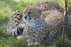 Гепард 3 детенышей Стоковое Изображение RF