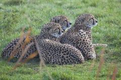 Гепард 3 детенышей Стоковое Фото