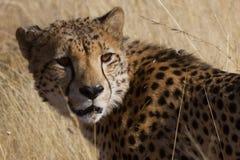Гепард, запас игры Madikwe Стоковое Изображение