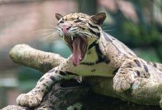 Гепард зевая Стоковая Фотография