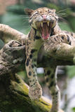 Гепард зевая Стоковое фото RF