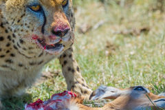 Гепард и добыча, Masai Mara, Кения Стоковые Фото