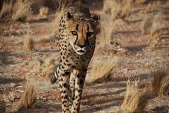 Гепард идя в одичалое стоковая фотография rf