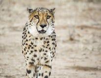 гепард Намибия Стоковая Фотография