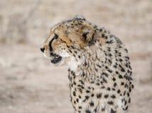 гепард Намибия Стоковое Фото