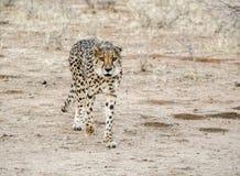 гепард Намибия Стоковое Изображение RF