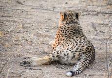 гепард Намибия Стоковые Изображения RF