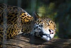 Гепард на ветви в зоопарке Стоковое фото RF