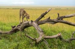 Гепард на ветви в парке Mara Masai в Африке Стоковая Фотография