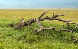Гепард на ветви в парке Mara Masai Стоковая Фотография