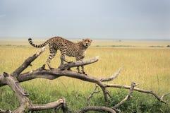 Гепард на ветви в парке Mara Masai Стоковое Изображение RF