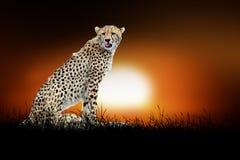 Гепард на предпосылке захода солнца Стоковая Фотография RF