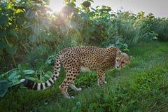 Гепард на прогулке в природе Стоковая Фотография