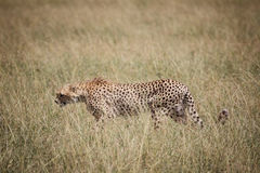 Гепард на саванне 2 Стоковое фото RF