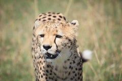 Гепард на саванне 4 Стоковые Изображения