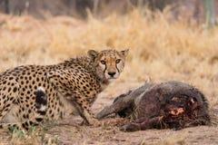 Гепард на убийстве warthog Стоковые Изображения