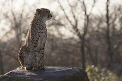 Гепард на утесе Стоковые Фото
