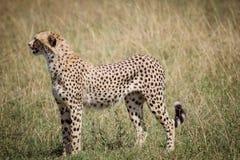 Гепард на savanna3 Стоковые Фотографии RF