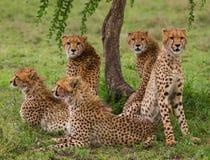 5 гепардов в саванне Кения Танзания вышесказанного Национальный парк serengeti Maasai Mara стоковое изображение rf