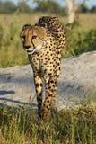 Гепард от перепада Стоковые Изображения RF