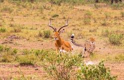 Гепард - самый быстрый охотник саванны masai mara Стоковые Изображения RF