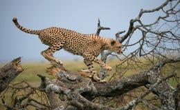 Гепард сидит на дереве в саванне Кения Танзания вышесказанного Национальный парк serengeti Maasai Mara стоковое фото