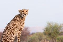 Гепард сидя на возвышенности стоковые фотографии rf
