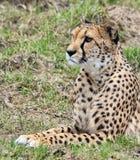 Гепард смотря в расстояние Стоковые Фото