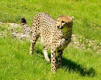 Гепард стоя в траве Стоковая Фотография RF