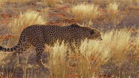 Гепарды в красной пустыне акции видеоматериалы
