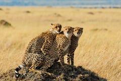 Гепарды в национальном заповеднике Mara Masai, Кении Стоковое фото RF