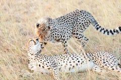 Гепарды в Masai Mara Стоковое фото RF