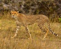 Гепард Южная Африка Стоковые Фото