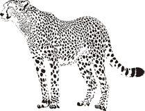 гепард Стоковые Изображения RF