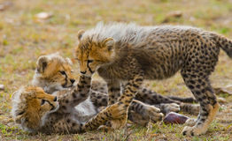 Гепард cubs игра друг с другом в саванне Кения Танзания вышесказанного Национальный парк serengeti Maasai Mara Стоковое Изображение RF