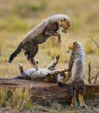 Гепард cubs игра друг с другом в саванне Кения Танзания вышесказанного Национальный парк serengeti Maasai Mara Стоковое Фото