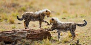 Гепард cubs игра друг с другом в саванне Кения Танзания вышесказанного Национальный парк serengeti Maasai Mara стоковые изображения rf