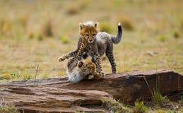 Гепард cubs игра друг с другом в саванне Кения Танзания вышесказанного Национальный парк serengeti Maasai Mara Стоковые Фотографии RF