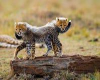 Гепард cubs игра друг с другом в саванне Кения Танзания вышесказанного Национальный парк serengeti Maasai Mara стоковые изображения
