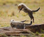 Гепард cubs игра друг с другом в саванне Кения Танзания вышесказанного Национальный парк serengeti Maasai Mara Стоковое Изображение