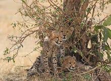 Гепард cubs посадочные места около Буша Стоковые Изображения