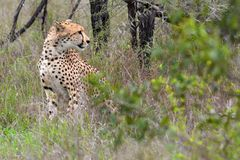 Гепард (jubatus Acinonyx) Стоковое фото RF