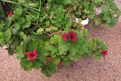 Гераниумы весной Стоковое Фото