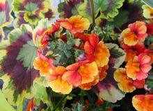 Гераниумы красные и оранжевые цветки lantana и лист вычуры стоковые фотографии rf