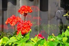 гераниумы красные стоковые изображения rf