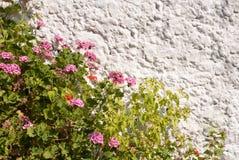 Гераниумы к стене Стоковое Фото