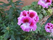 Гераниумы цветя в баках Стоковые Изображения