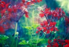 гераниумы Стоковая Фотография RF