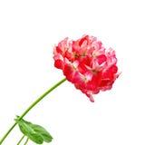 Гераниум листья красных и белизны Стоковое Фото