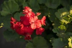 Гераниум красный бархат Стоковая Фотография RF